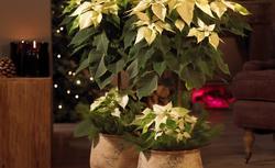 Tradycyjne dekoracje na Boże Narodzenie z gwiazdą betlejemską w roli głównej