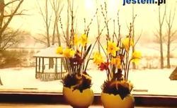 Wielkanocne dekoracje: żonkile w ozdobnych doniczkach. Obejrzyj WIDEO