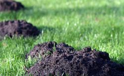 Kret w ogrodzie: jak pozbyć się kreta. Sprawdzony sposób na kreta