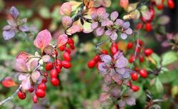 Rośliny ogrodowe: drzewa i krzewy z barwnymi owocami