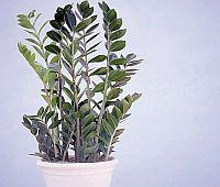 Zamiokulkas (Zamioculcas zamiifolia)